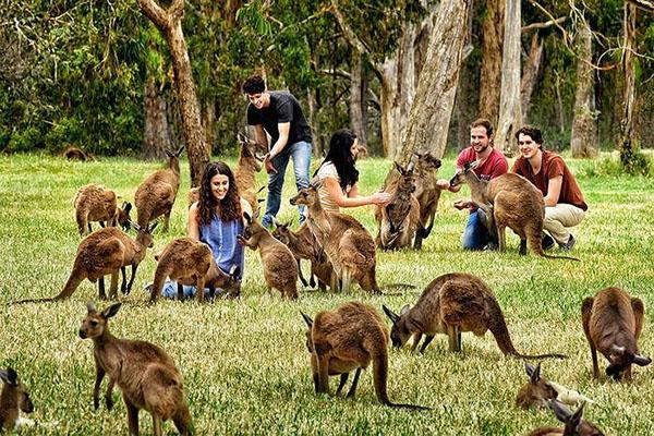 Du khách đang chơi đùa cùng những chú chuột túi - loài vật biểu tượng của nước Úc